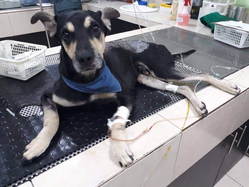 """""""perrito san martín"""" volvió a casa pero aún necesita ayuda"""
